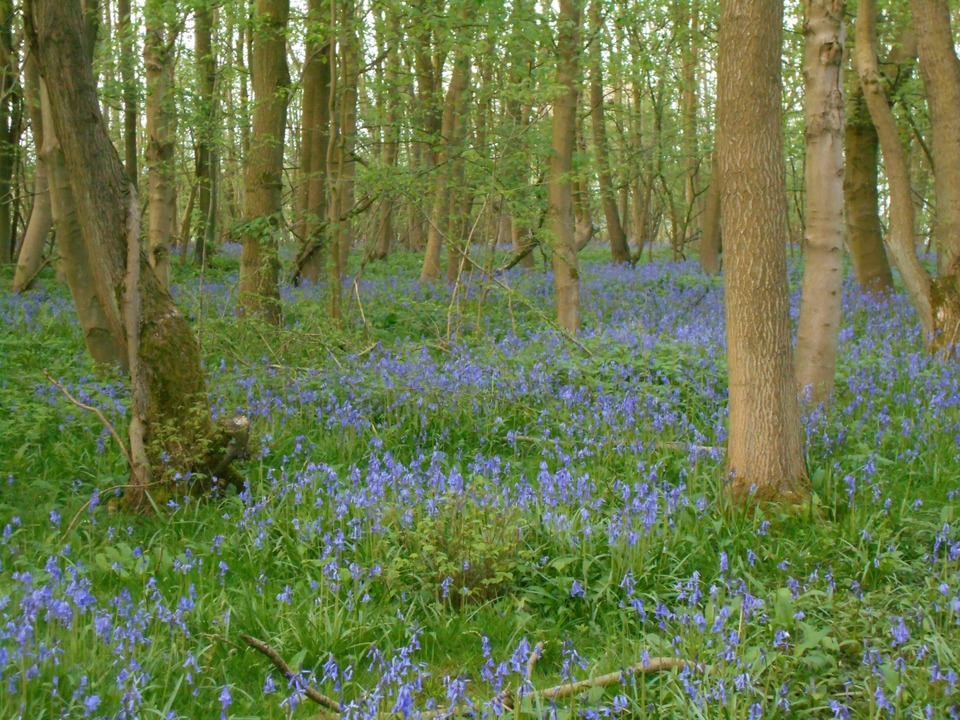 Bluebell wood nearby